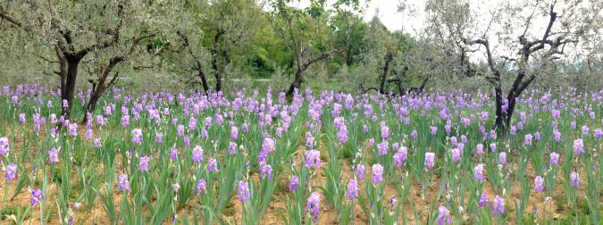The Florentine Iris: beautiful, fragrant, and worth its weight in gold