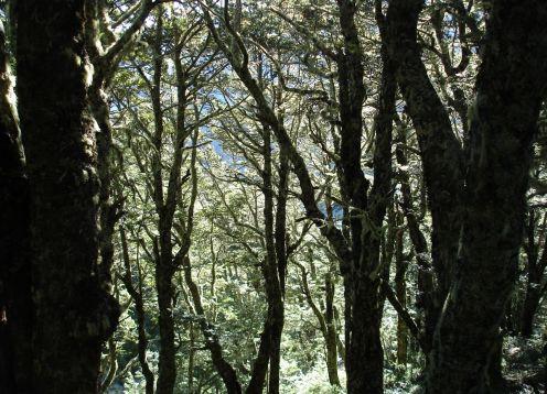 Nz forest,sc